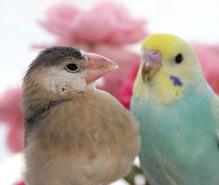 小鳥飼育の趣味