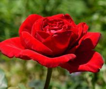 バラ栽培の趣味