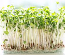 スプラウト栽培の趣味